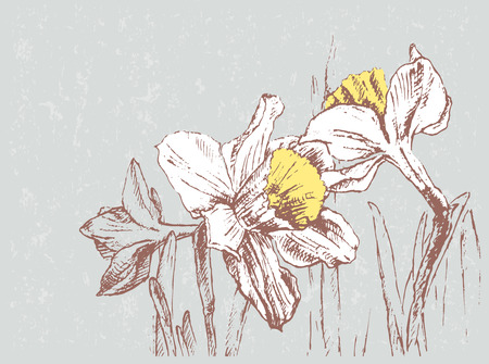 The vector drawing of the narcissuses.