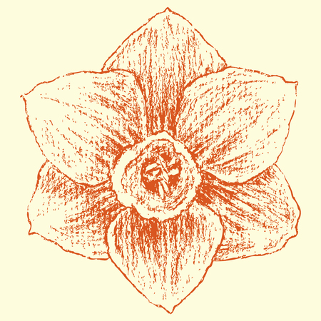 jonquil: Vector image of a garden narcissus. Illustration