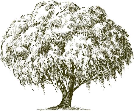 Vector schets van een oude wilgboom.