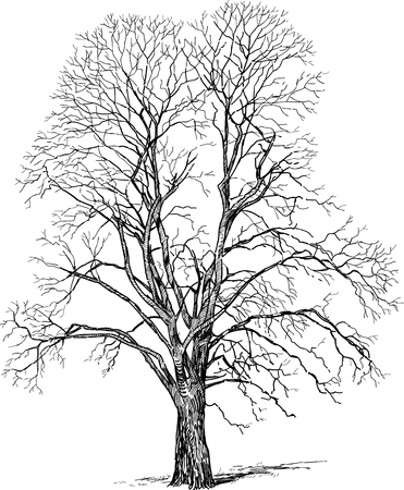 Vector drawing of a deciduous tree in the cold season.