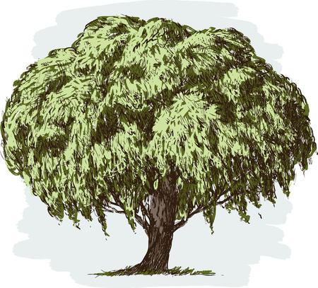 Vector image of a willow tree in summer. Çizim