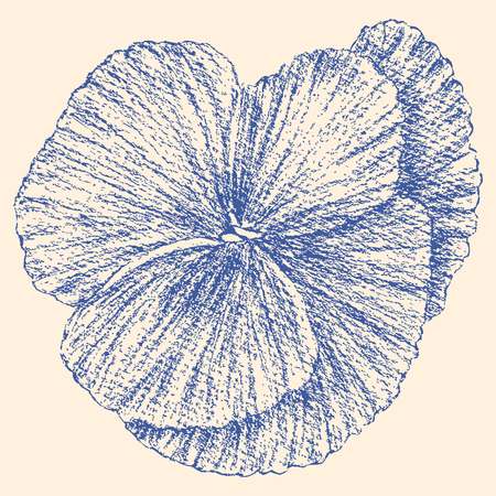 The vector drawing of a garden pansy. Illustration