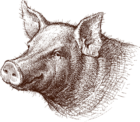 The vector drawing of the head of a pig.