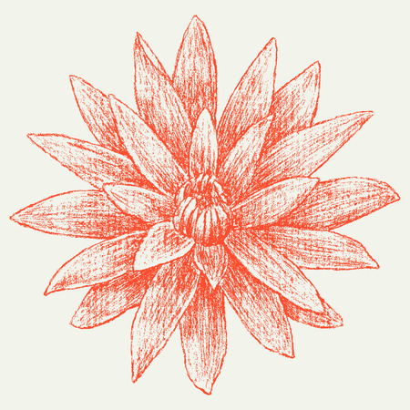 The vector drawing of a red garden flower. Illustration