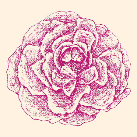 The vector drawing of a pink rose. Illustration