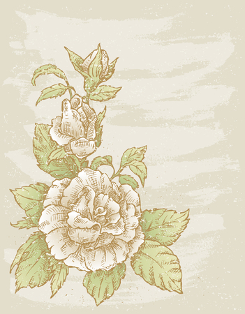 rose: The vector drawing of a white rose. Illustration