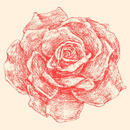 The vector drawing of a garden rose. Illustration