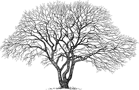 Vector drawing of an old oak in winter.