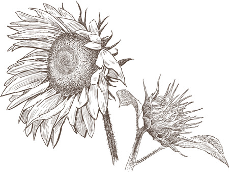 Sketch of a ripe sunflower with a bud