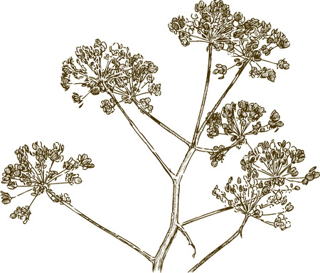 Vector drawing of a branch of an umbellate plant.