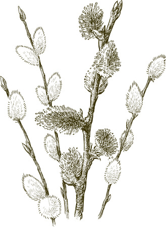 The bunsch of the willow branches with the fluffy buds Illustration