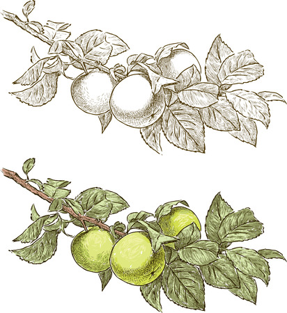 fall leaves: A branch of an apple tree with the ripe apples