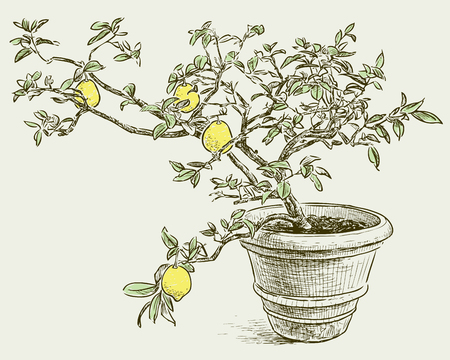 A small lemon tree in the flower pot