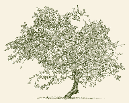Vector image of an old apple tree Illusztráció