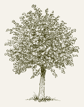 Sketch of a small deciduous tree