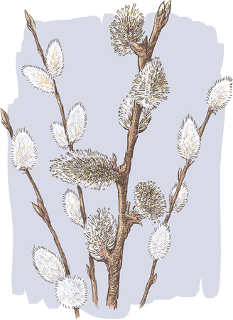 Vector image of the spring willow twigs