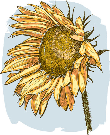 Vector image of a ripe sunflower