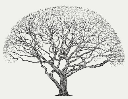 Hand drawing of a maple tree in the cold season