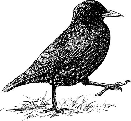 Vector drawing of a striding starling