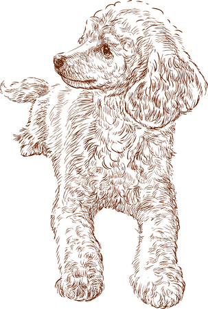 Bosquejo del vector de un caniche joven