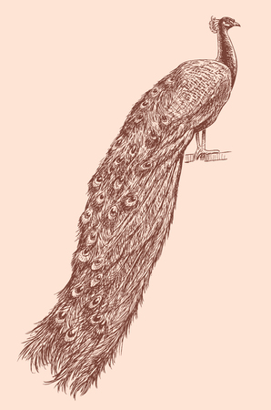 Sketch of a male from a peacock. Illustration