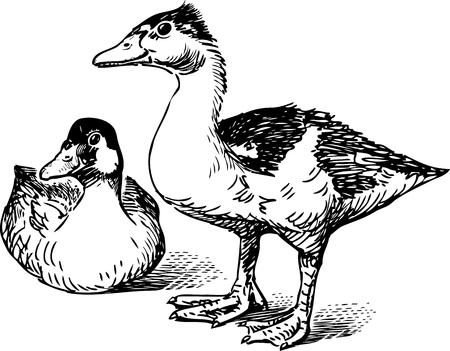 Pair of wild ducks
