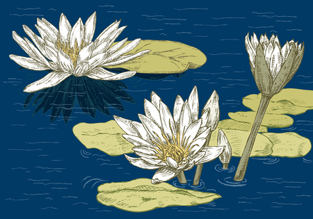 Flowering water lilies on the lake