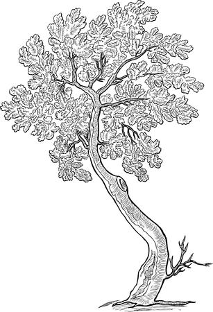 Sketch of a decorative small oak tree Illusztráció
