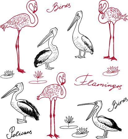 Hand drawings of pelicans and flamingos