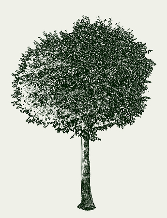 Vector illustration of a deciduous tree