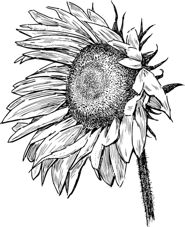 Hand drawing of a ripe sunflower