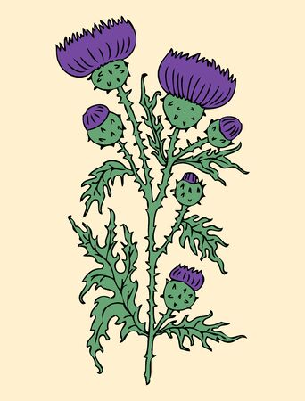 Vector illustration of wild thistle flower with buds