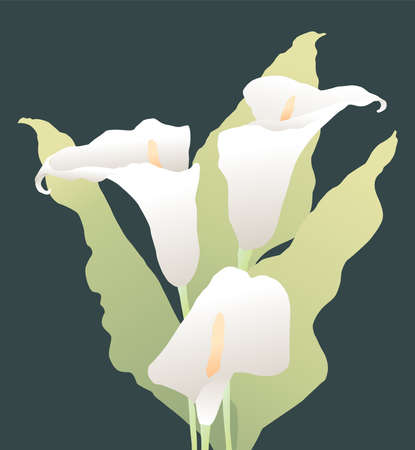 Vector image of bouquet delicate calla lilies