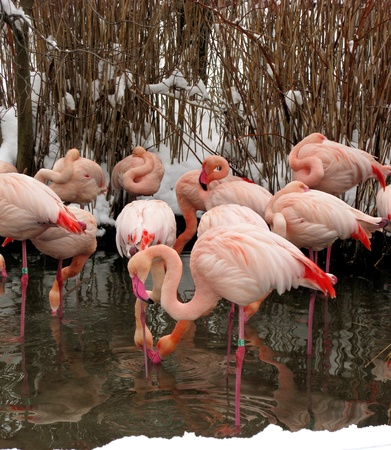 pink flamingos in zoo. winter time. photo