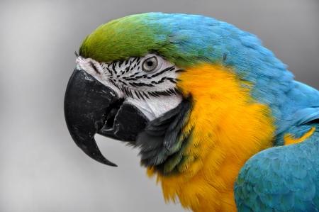 ararauna: Close-up azul y amarillo Guacamayo Ara ararauna la cabeza