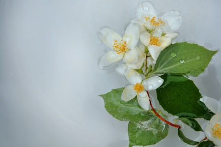 jasmin flower floating in water photo