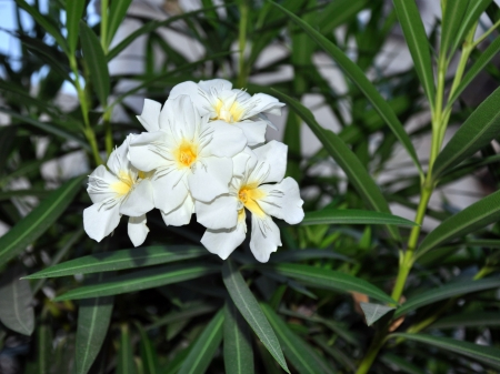 conspicuous: Wild White Flowers Stock Photo