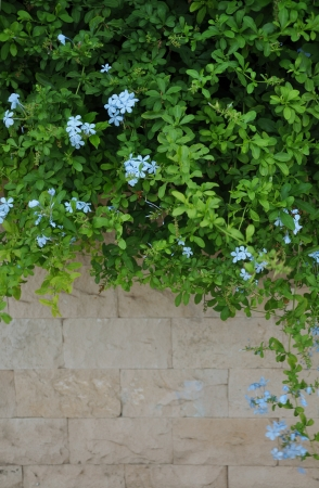 Stone wall and green plants with light blue flowers Stock Photo - 14875702