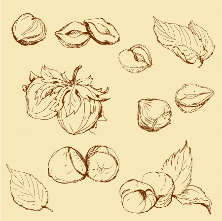 Set of highly detailed hand drawn hazelnuts Vector