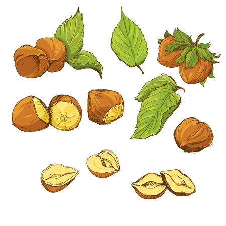 nut trees: Set of highly detailed hand drawn hazelnuts isolated on white background, color picture