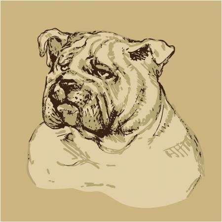 Bulldog head - hand drawn illustration -sketch in vintage style Vector