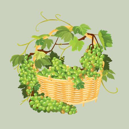 Bunches of fresh grapes in the basket isolated on beige background. Element for restaurant, bar, cafe menu or label. Illustration