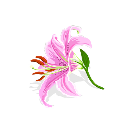 Beautiful pink lily isolated on white background. Vector illustration.