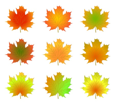 Maple autumn leaves isolated on a white background. Vector illustration.