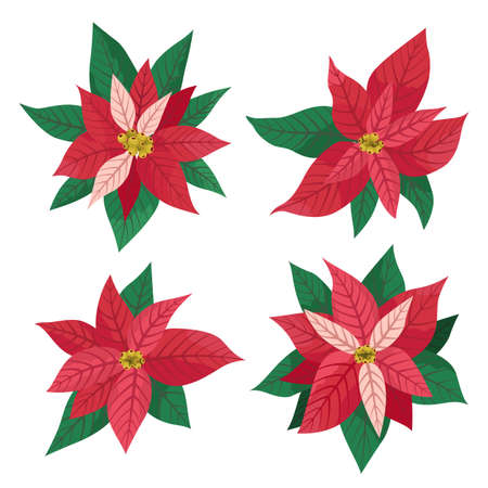 Set of 4 red blooming poinsettia plants. Vector illustration isolated on white. Christmas star, traditional flower. Cartoon flat design. For Christmas or New Year greeting cards, banners, invitations. Ilustração