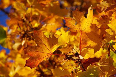 Maple  photo