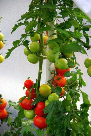 Tomatoe plant photo