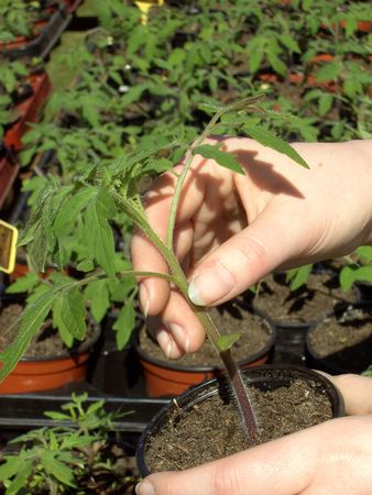 Tomato plant photo