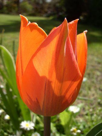 Tulip Stock Photo - 2597302