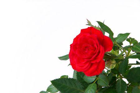 knospe: Rose 22